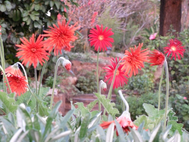 Red daisies and hybrids