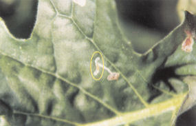 diseases leafminers 1 7 Leaf miner