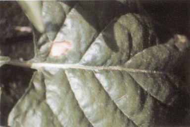 diseases leafspots 1 1 Leaf spots