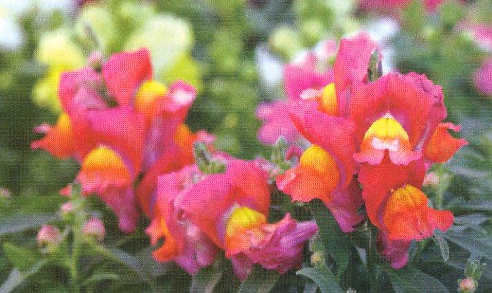 gardener 2005 05 snapdragons 2 Snapdragons