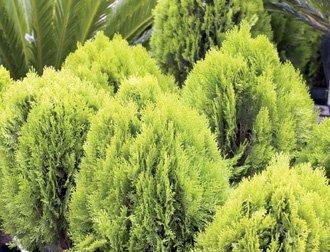 Top Ten Conifers For Your Garden