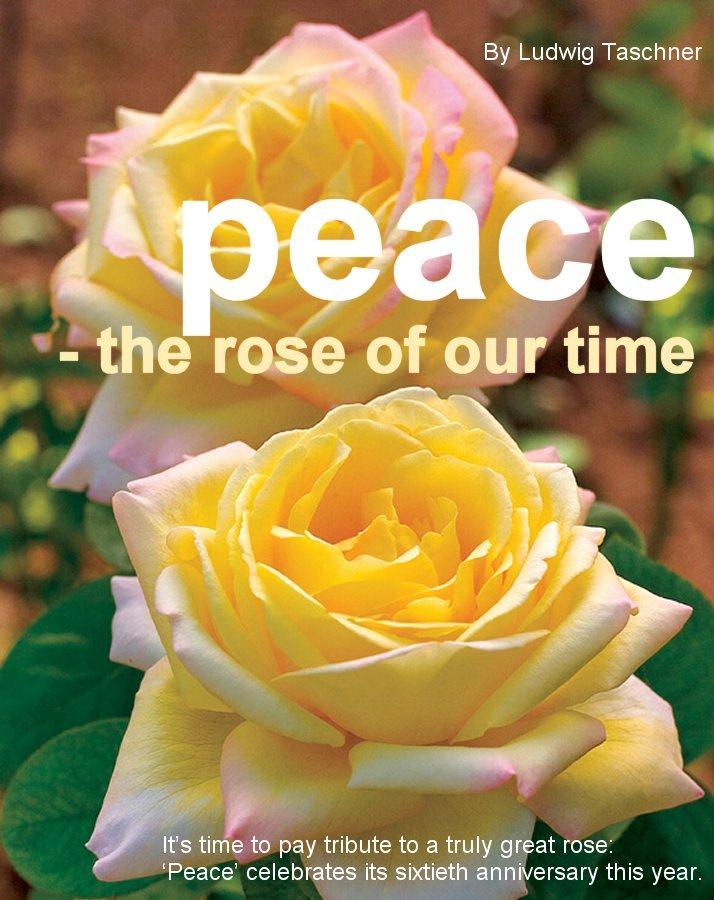 gardener 2005 06 peace rose Peace rose