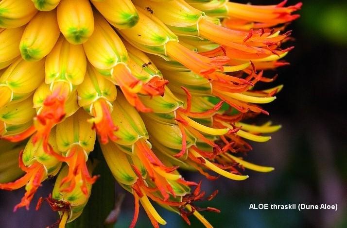 gardener 2005 07 aloes 1b Aloes