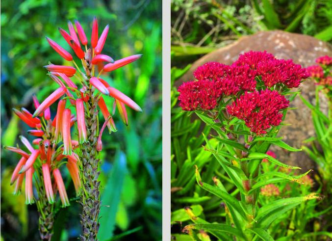 gardener 2005 07 succulents 4 Succulents